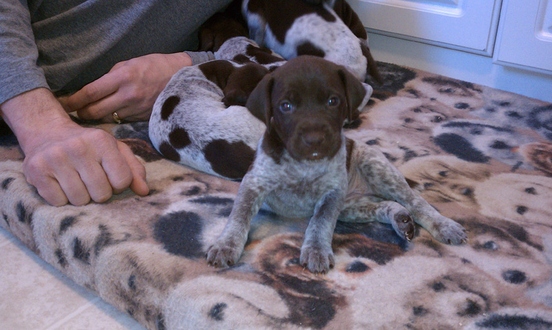 Gsp Puppies German Shorthaired Pointer Club Of Ohio
